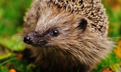 hedgehog-child-1759015_960_720