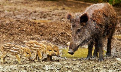 wild-boar-3481646_960_720