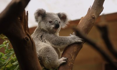 koala-3055832_1920
