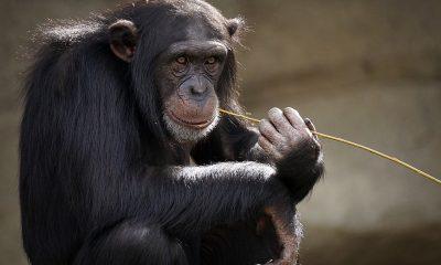 chimpanzee-3703230_1280